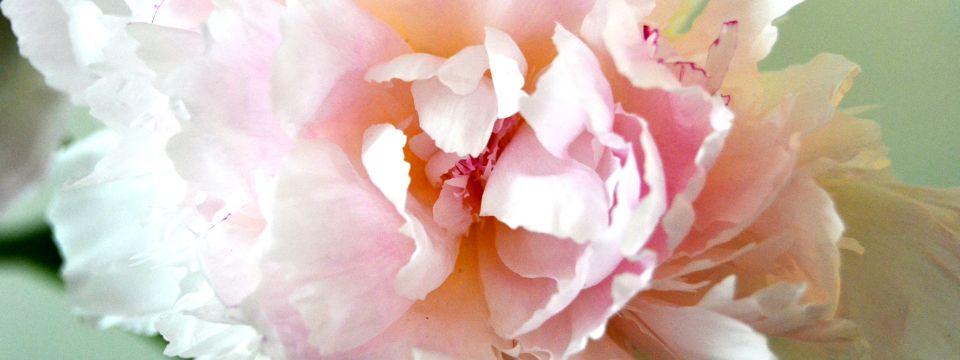 Pæon i blomst